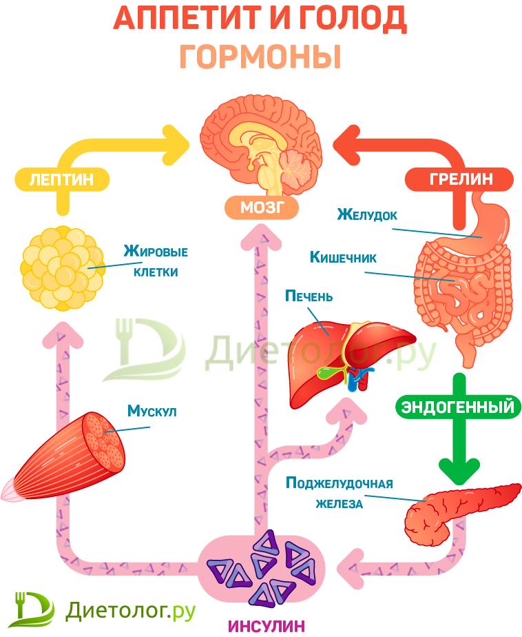 Аппетит и голод, гормоны